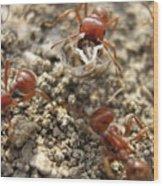 Harvester Ants 3 Wood Print
