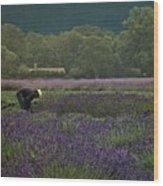 Harvesting The Lavender, Long Island Wood Print