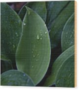 Hosta Dew Drops Wood Print