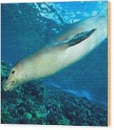 Hawaiian Monk Seal Wood Print