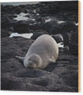 Hawaiian Monk Seal Wood Print