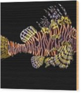 Hawaiian Turkey Fish Wood Print