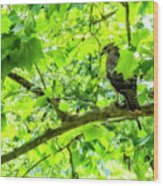 Hawk In Sycamore Wood Print