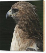 Hawk Portrait Wood Print