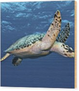 Hawksbill Sea Turtle In Mid-water Wood Print