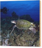 Hawksbill Turtle Swimming With Diver Wood Print