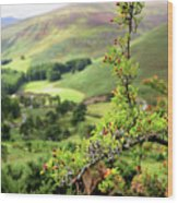 Hawthorn Branch With View To Wicklow Hills. Ireland Wood Print