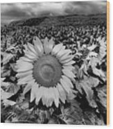 Hdr Sunflower Field. Wood Print