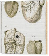 Heart And Muscle Fibers, 18th Century Wood Print