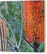Heath Banksia From Fairfax Walk Wood Print
