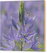 Heavenly Blue Camassia Wood Print