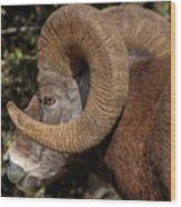 Heavy Horns Wood Print