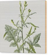 Hedge Mustard Wood Print