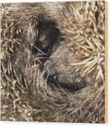 Hedgehog Curled Up Wood Print