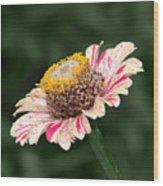 Helenium Wood Print