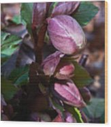 Heliborus Early Flower Buds 1 Wood Print