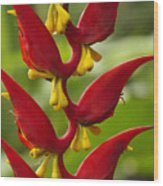 Heliconia Dielsiana Wood Print
