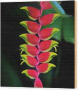 Heliconia Lobster Claw Wood Print