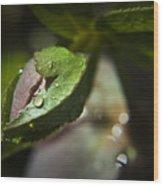 Helleborus Bud Wood Print