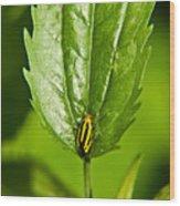 Hemiptroid Sucking Bug Wood Print