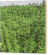 Hemp Plantation Wood Print