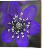 Hepatica 3 Wood Print
