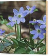 Hepatica Blue Wood Print by Lori Frisch