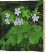 Herb Robert On The Ma At Wood Print