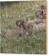 Herd Of Bighorn Sheep Wood Print