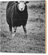 Herdwick Sheep Wood Print