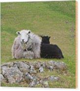 Herdwick Sheep On A Hillside In Cumbria Wood Print