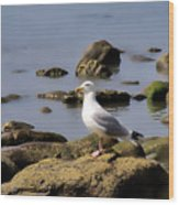 Herring Gull At Charmouth Wood Print
