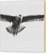 Herring Gull IIi Wood Print