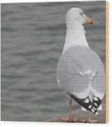 Herring Gull Observing Wood Print