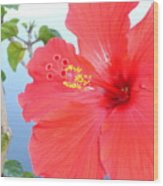 Hibiscus At Full Bloom Wood Print