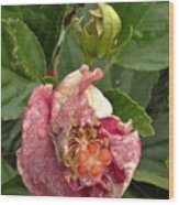 Hibiscus Bloom Closed In The Rain   End View      May           Indiana      Wood Print