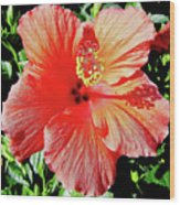 Hibiscus - Dew Covered - Beauty Wood Print