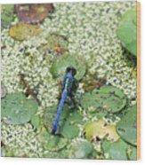 Hiding Dragonfly Wood Print