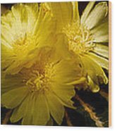 High Angle View Of Cactus Flowers Wood Print