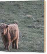 Highland Cattle Wood Print