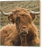 Highland Cow Color Wood Print by Justin Albrecht