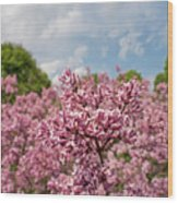 Highland Park Lilacs Detail Rochester Ny Wood Print