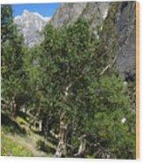 Himalayan Bhojpatra Trees 4 Wood Print