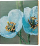 Himalayan Blue Poppy Wood Print