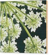 Himalayan Hogweed Cowparsnip Wood Print by American School