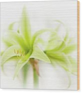 Hippeastrum  Evergreen Wood Print