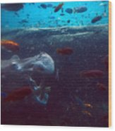 Hippo Eating African Cichlids Wood Print