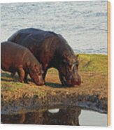 Hippo Mother And Child - Botswana Africa Wood Print