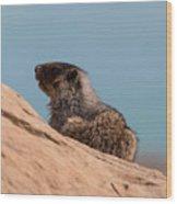 Hoary Marmot On Blue Wood Print