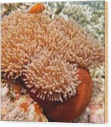 Home Of The Clown Fish 2 Wood Print